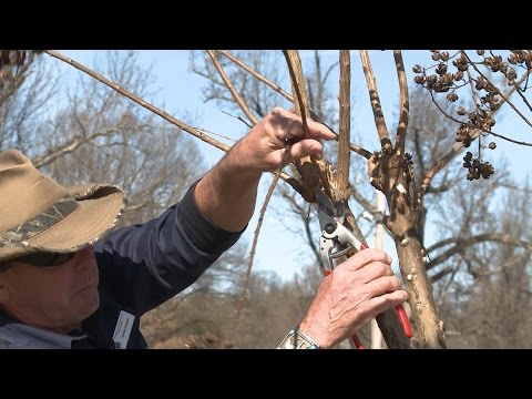 Pruning (Not Murdering) Crape Myrtle - Family Plot