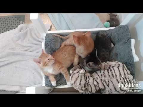 Orphaned feral kittens nursing on their SnuggleMom.... TinyKittens.com
