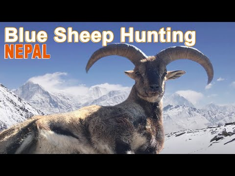 Blue Sheep Hunting (chasse Bharal) In Nepal Reserve  Of Dhorpatan by  Ovini Expéditions