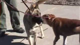 Dog To Dog Meeting With Aggression - Snark!