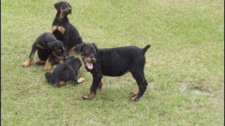 Doberman Pinscher, Puppies, For, Sale, In, San Francisco, California, Ca, Moreno Valley, Oxnard, Fon
