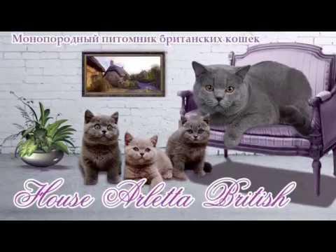Приглашаю в группу любителей британских кошек для общения,советов, обмена опытом. В этой группе предлагаю к продаже британских котят от моей кошки виолы оникс(британка голубого окраса), состоящей в клубе