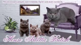 Британские котята играют. Купить британского котёнка. Питомник House Arletta British