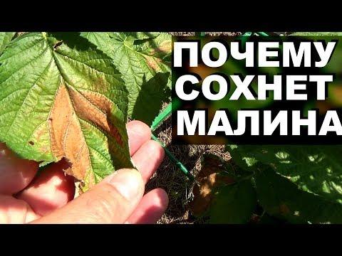 Вопрос: Почему листья у малины стали пятнистыми ( см. фото)?