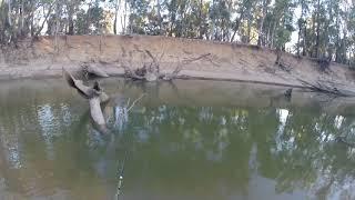94cm Murrumbidgee river Murray cod