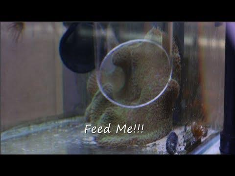 Feeding My $3000.00 Carpet Anemone