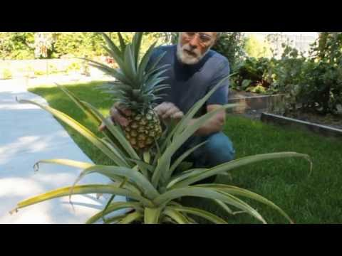 Wisconsin Pineapple