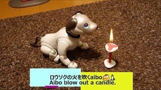 ロウソクの火を吹くaibo🍰🕯️ - Aibo blow out a candle. 【アイボ】