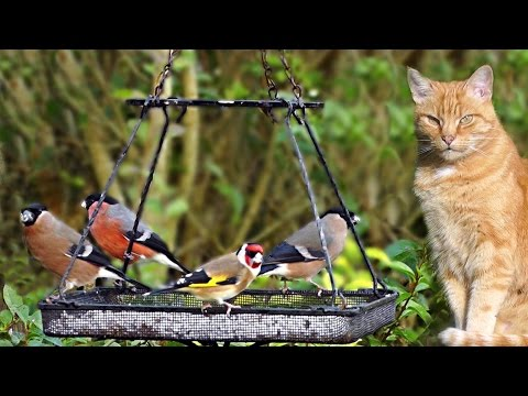 Cat Videos for Cats to Watch 🐱 - Nemo Watching The Birds