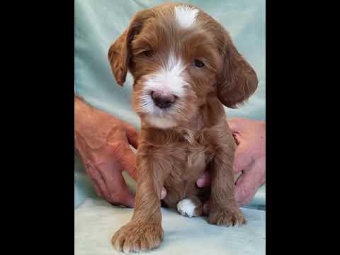 PuppyFinder.com : Chili's Puppies - Boomer - 4 Weeks