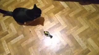 Кошка Пипад Поймала Птицу