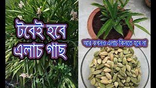 টবে সুগন্ধি মশলা এলাচ চাষের সহজ উপায় / How to grow Cardamom ( The Queen of Spices ) plant at home