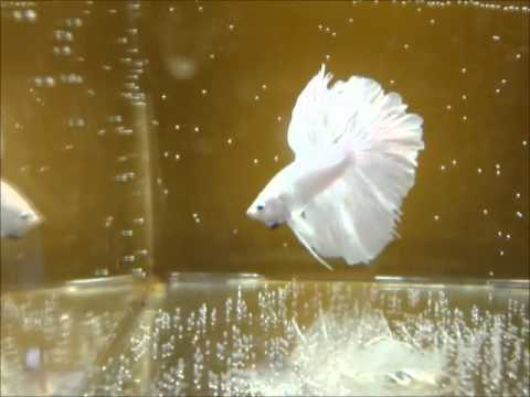 Milky white halfmoon betta fish youtube for What sound does a fish make