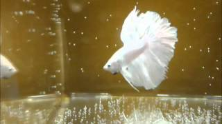 Milky white halfmoon betta fish