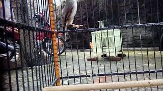Download Video SUara MASteran CIBLek Sawah, Buat Melatih semua BAKALan Burung  nyanyi di pagi dan sore hari MP3 3GP MP4
