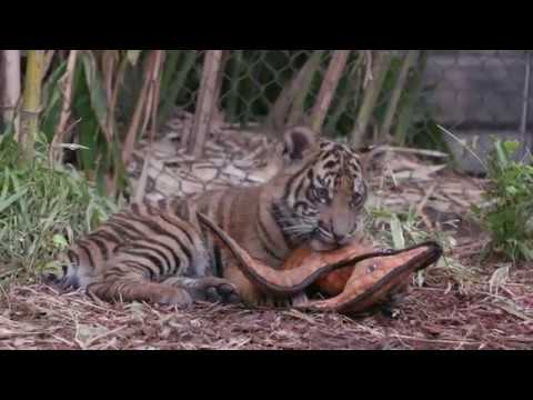 San Diego Zoo Welcomes Two New Tiger Cubs