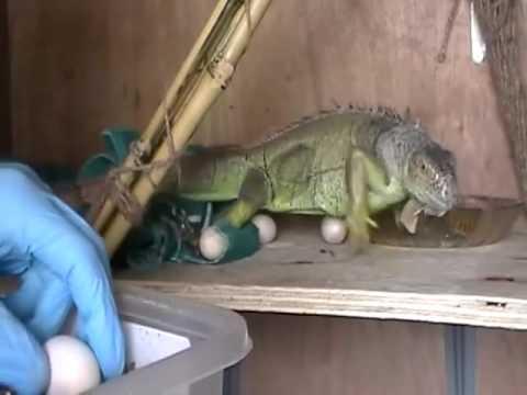 Iguana laying her eggs