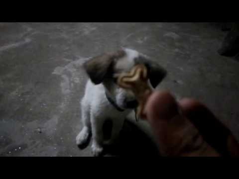 Teaching a puppy basic no command