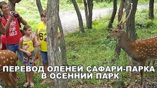ПЕРЕВОД ОЛЕНЕЙ САФАРИ-ПАРКА В ОСЕННИЙ ПАРК