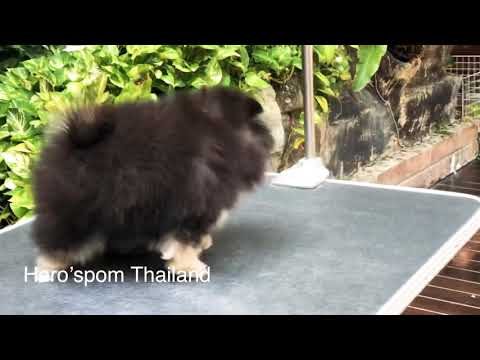 Pomeranian puppies black and Tan female for sale