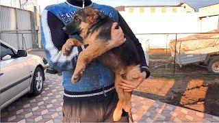 Щенки немецкой овчарки 3 месяца от Алана и Грейс. German Shepherd puppies 3 months.