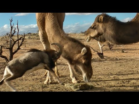 Fearless Ram vs. Big Camels