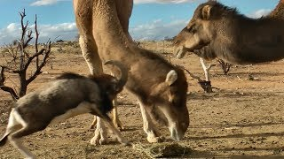 Fearless Ram vs. Big Camels thumbnail