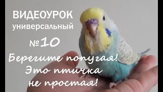 """🎧 Учим попугая говорить. Урок 10: """"Берегите попугая - это птичка не простая!"""""""