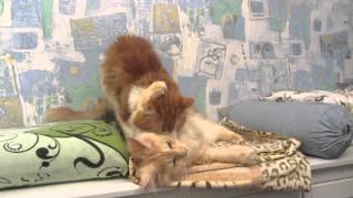 Кот  пристаёт  к  кошке.Cat pesters the cat.