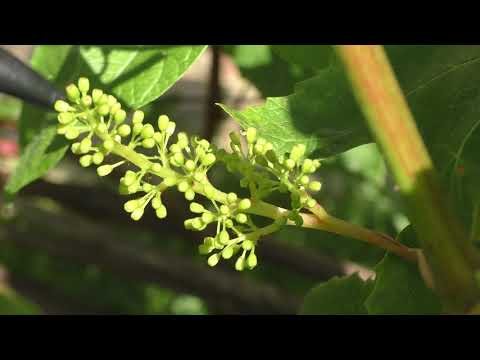 Цветение винограда 2021. Что следует и чего не следует делать на винограднике в это время