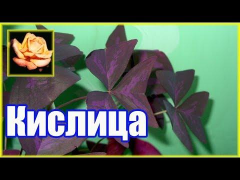 Кислица (оксалис). Самое неприхотливое комнатное растение. 🌿