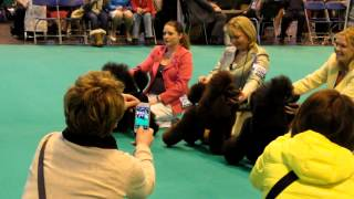 Crufts-miniature Poodles Best Of Breed