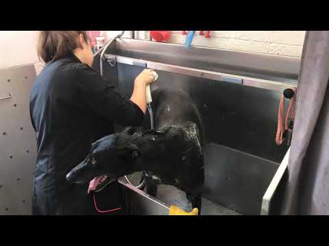 A Day at Dirty Dogs Dog Grooming Studio