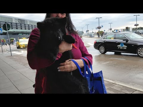 Picking up my Swedish Lapphund puppy!