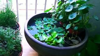 (키우기쉬운/식물추천) 물에서 부유하며 빠르게 자연번식…