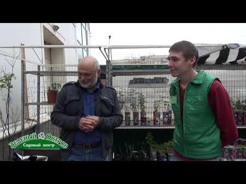 Выращивание черешни на Урале