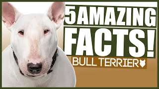 BULL TERRIER! 5 Incredible Facts About The BULL TERRIER