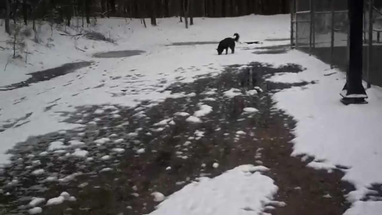 Black German Shepherd Dog Enjoying The Snow Youtube