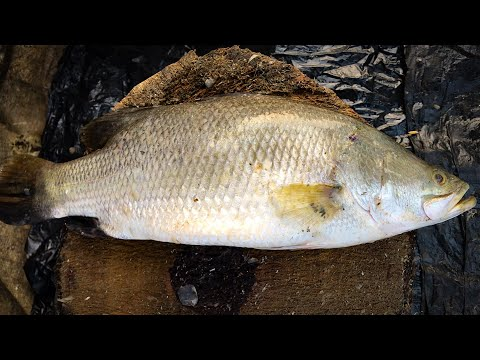 Pure Knife Skills By Fisherman, Amazing Skills Of Cutting Asian Sea Bass Fish At Fish Market