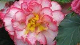 Como cultivar Begonias - Flores- TvAgro por Juan Gonzalo Angel