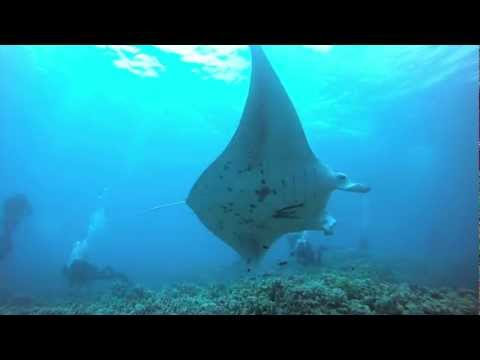 manta-ray-dive-on-maui
