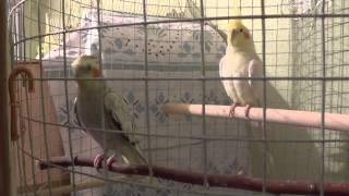 Как определить пол попугая кореллы 2. Ошибка в определении пола.