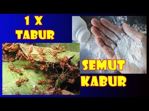 #TIS CARA MUDAH & MURAH MENGUSIR SEMUT PADA TANAMAN | Removing Ant Totally On Your Plant