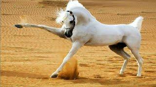 Арабские Лошади пустыни - Arabian Horses In Desert! Арабские Скакуны - Аравийские Лошади