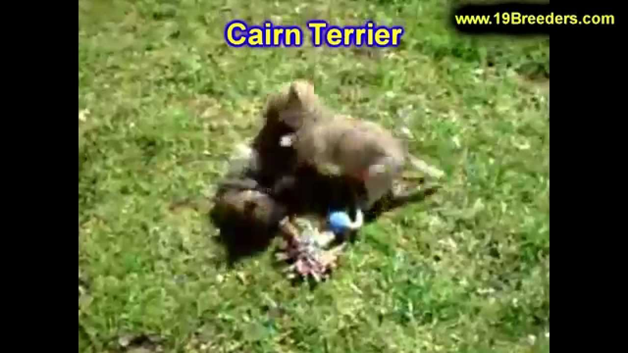 Cairn Terrier Puppies For Sale In Baton Rouge