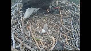 Big Bear Eagles - Eaglet #2 has arrived!! - 02-12-18