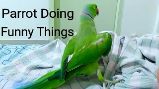 Parrot doing funny things. Dancing indian ringneck parrot