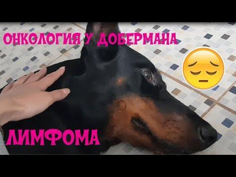 Онкология у собаки 😪 | Лимфома | Доберман Арес