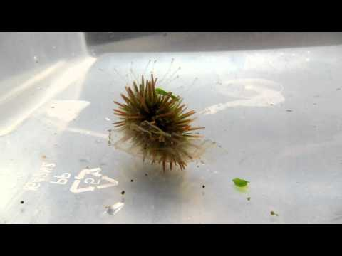 Baby Sea Urchin flips itself right side up