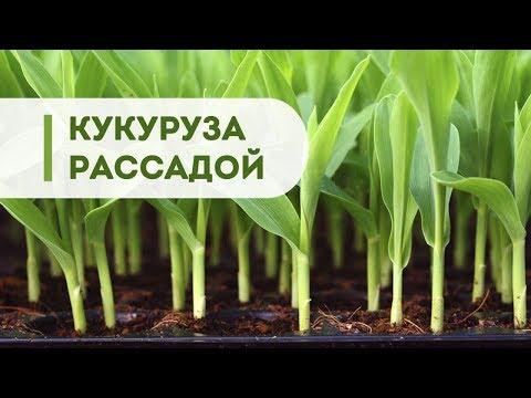 Выращивание кукурузы из рассады. Топ интересных видео